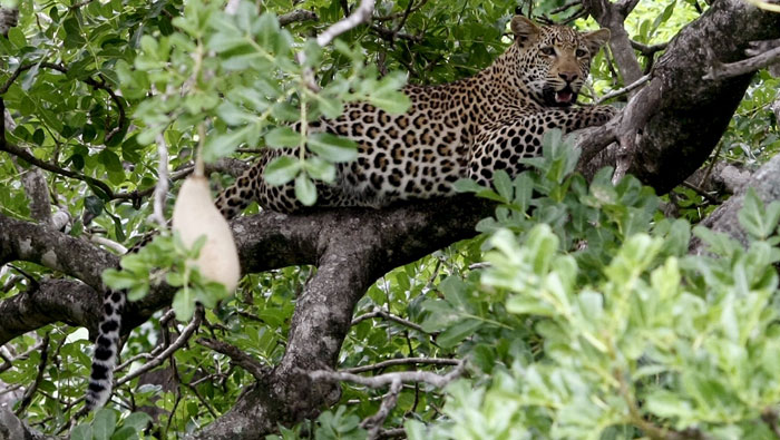 South Africa imposes temporary ban on 2016 leopard hunting season