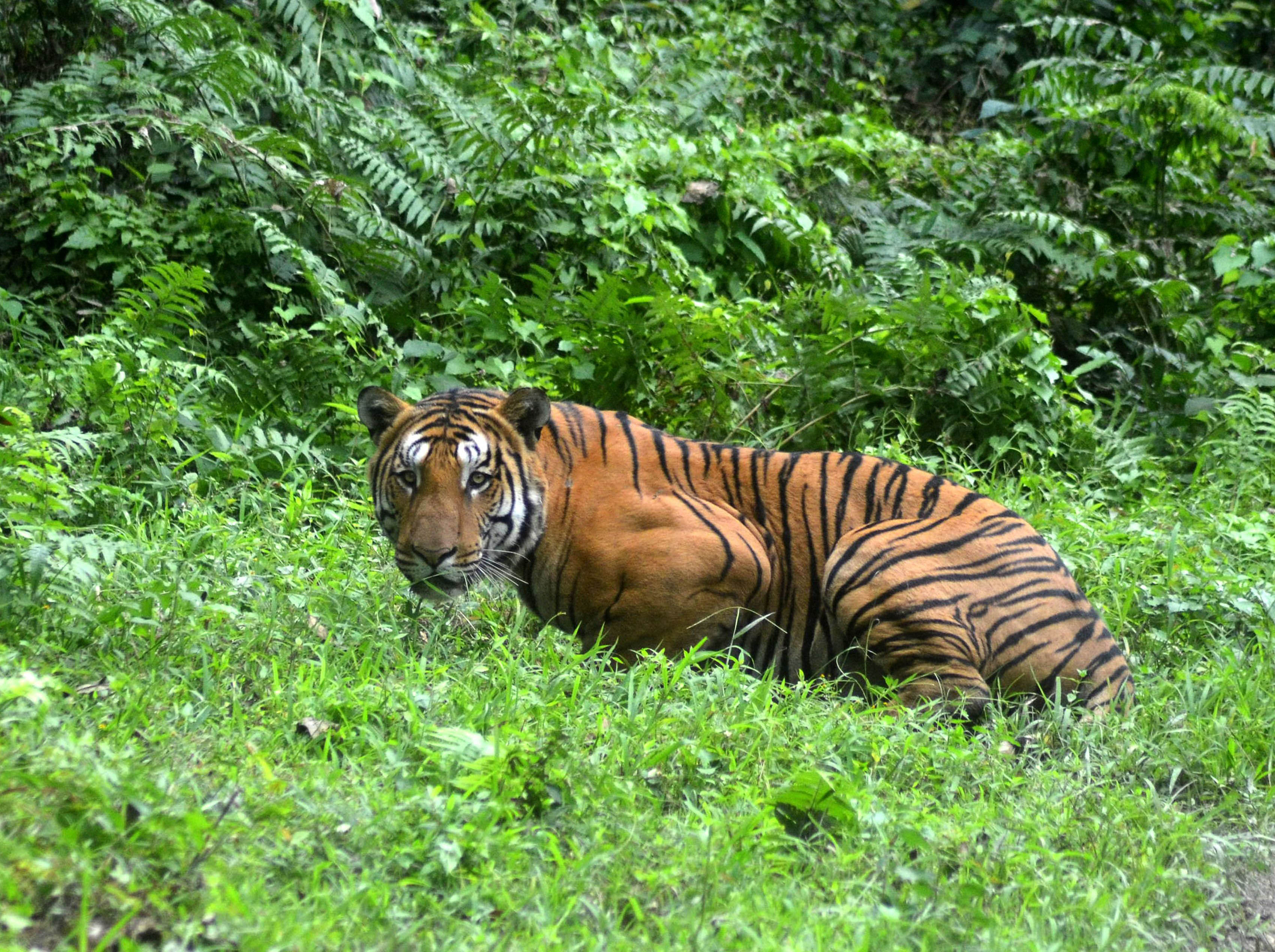 Tiger biologists debunk report on increase in population