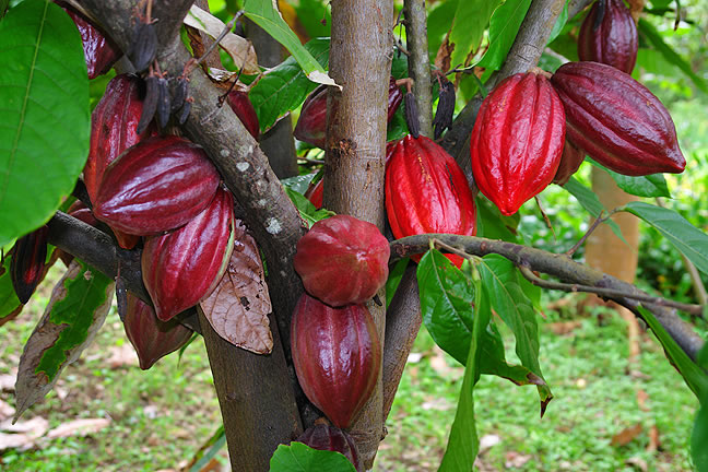 6 مليون شخص في العالم يعملون في زراعة الكاكاو وتصنيعه