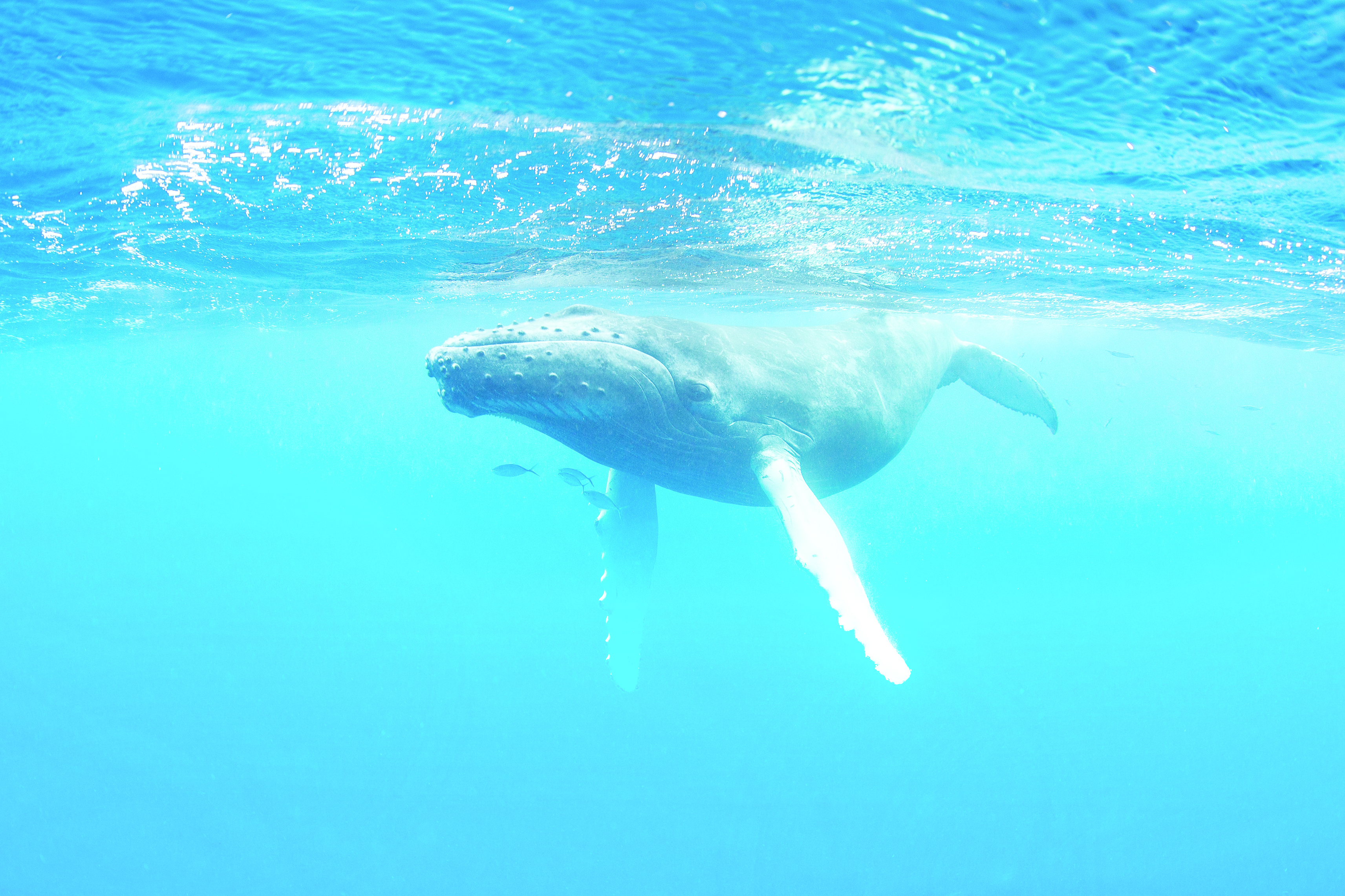 Fun Facts: The interesting world of blue whale