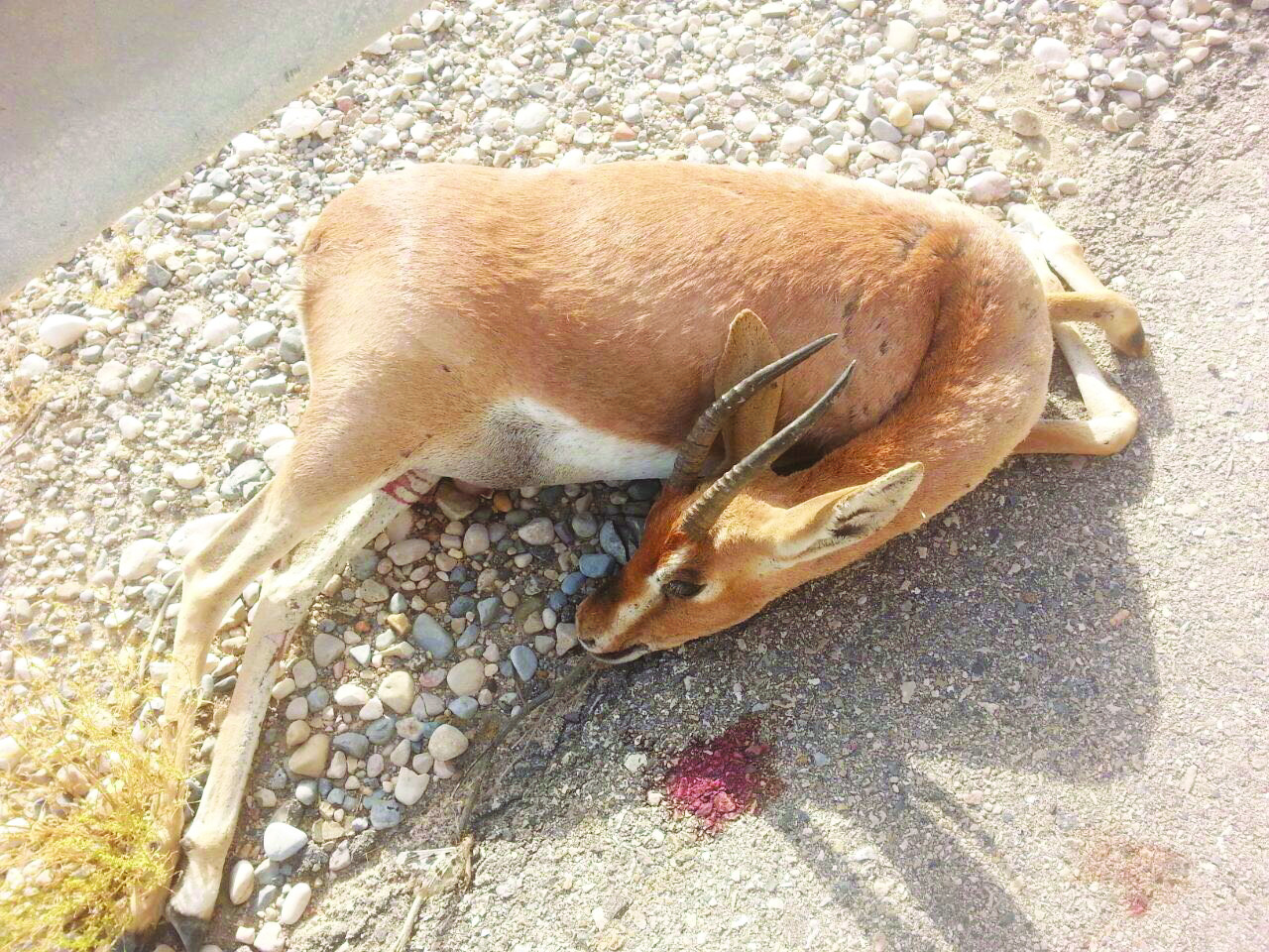 Two arrested for killing a deer in Oman