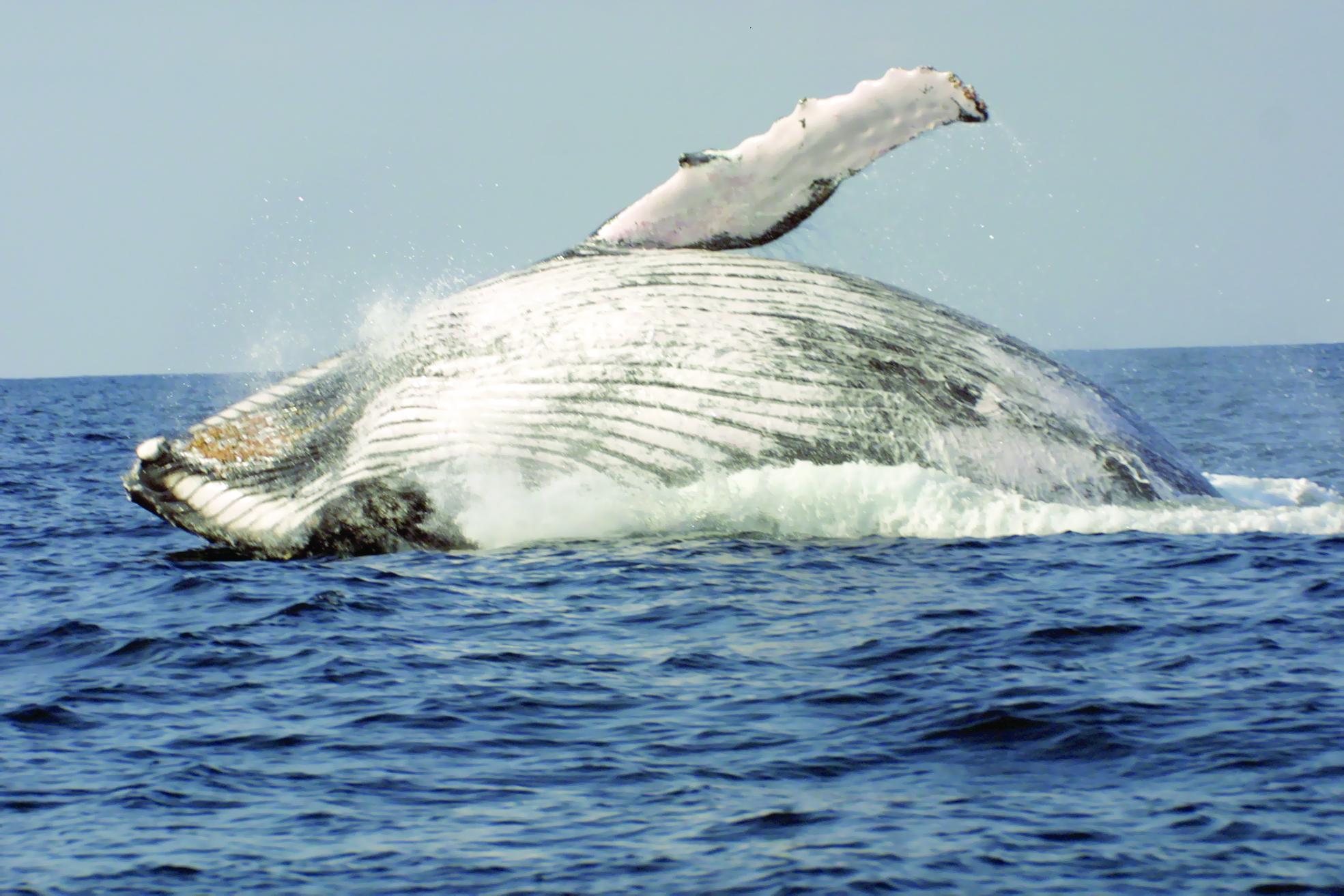 جمعية البيئة العُمانية تطلق فيلماً توعويّاً عن الحيتان الحدباء