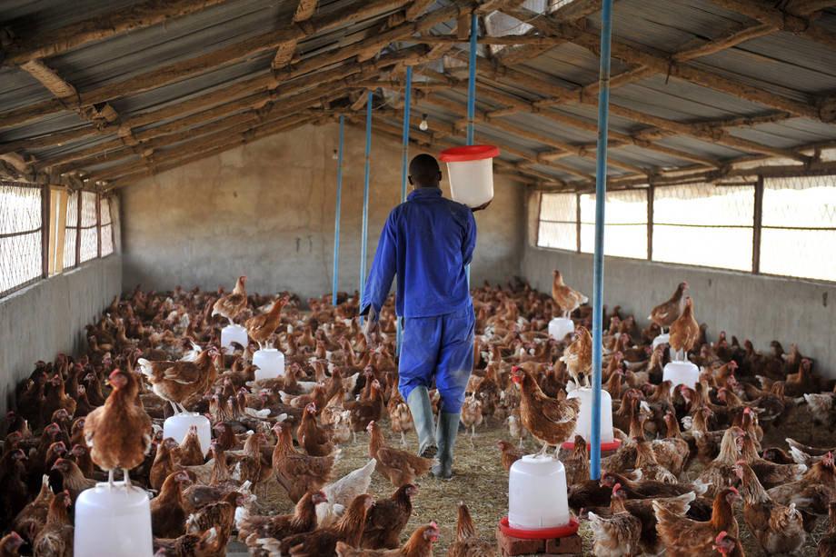 نفوق وإعدام 5ر3 مليون طائر في نيجيريا بسبب انفلونزا الطيور