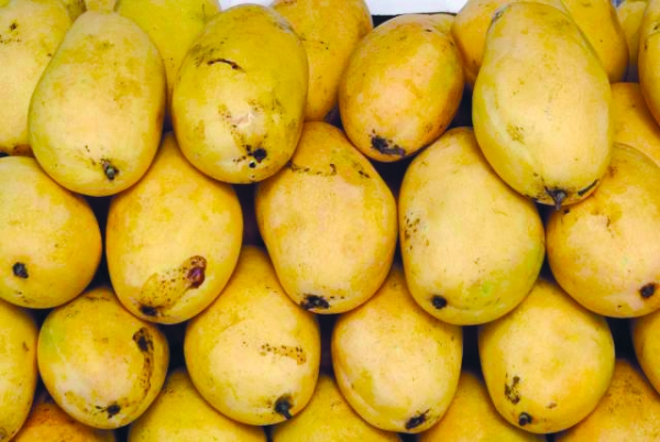 Mango Encyclopedia launched in Oman