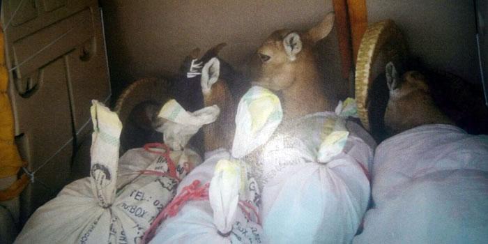 Oman crime: Police arrests three animal smugglers
