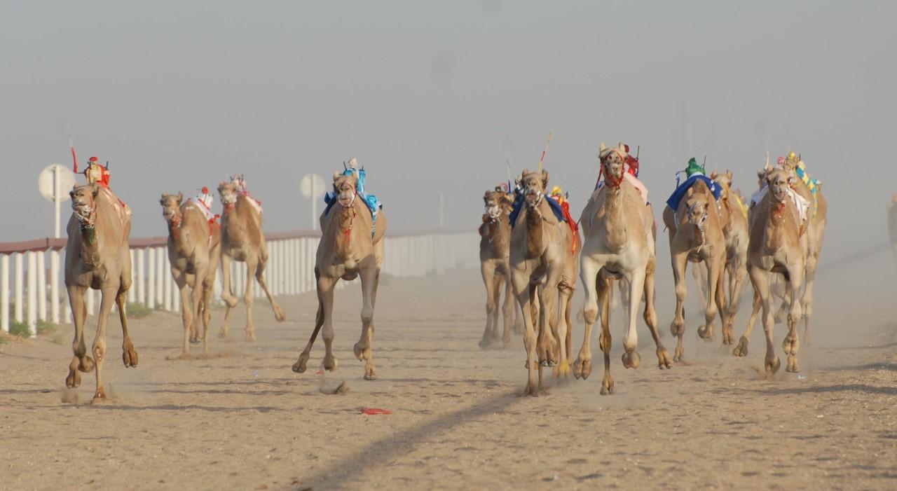 أكثر من 300 مشارك في السباق الختامي للهجن بالمضيبي