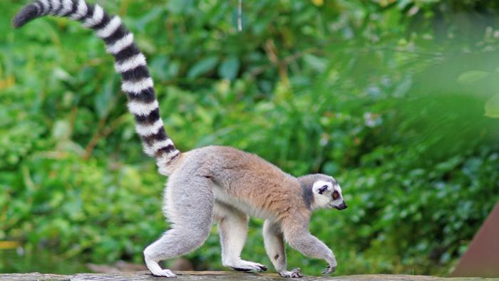 Fun fact: Lemurs
