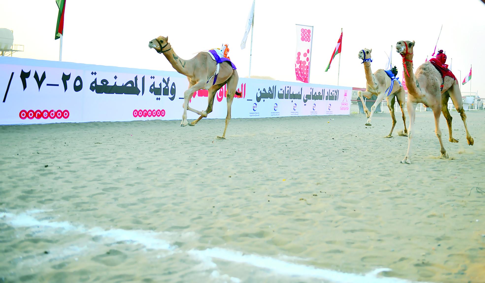 بدعم من أوكسيدنتال عمان و ( أوريدو )16 شوط للحجائج بانطلاق منافسات السباق العام للهجن بالمصنعة