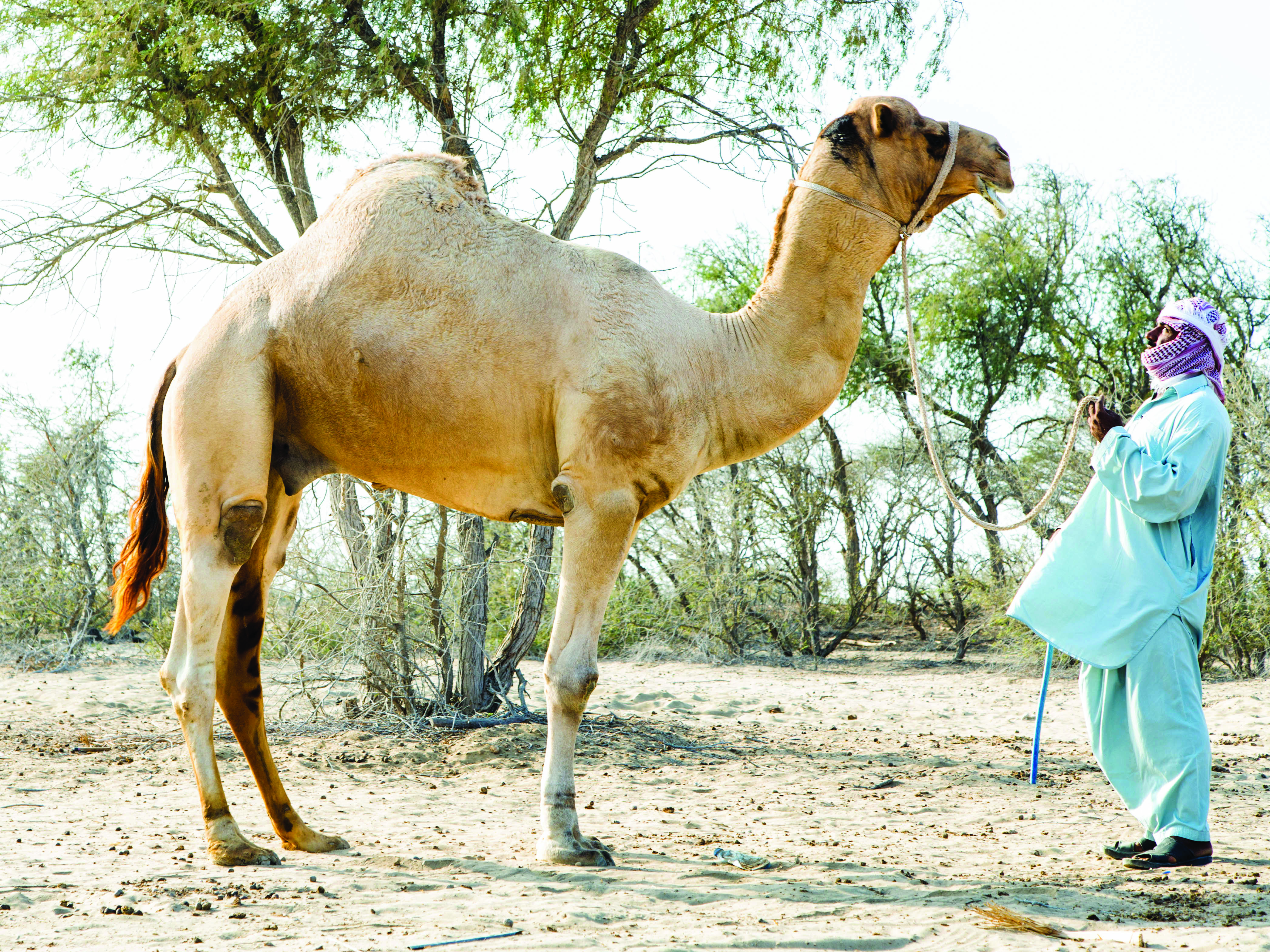 Special Feature: Behind the Scenes at a Traditional Camel Beauty Contest in Oman