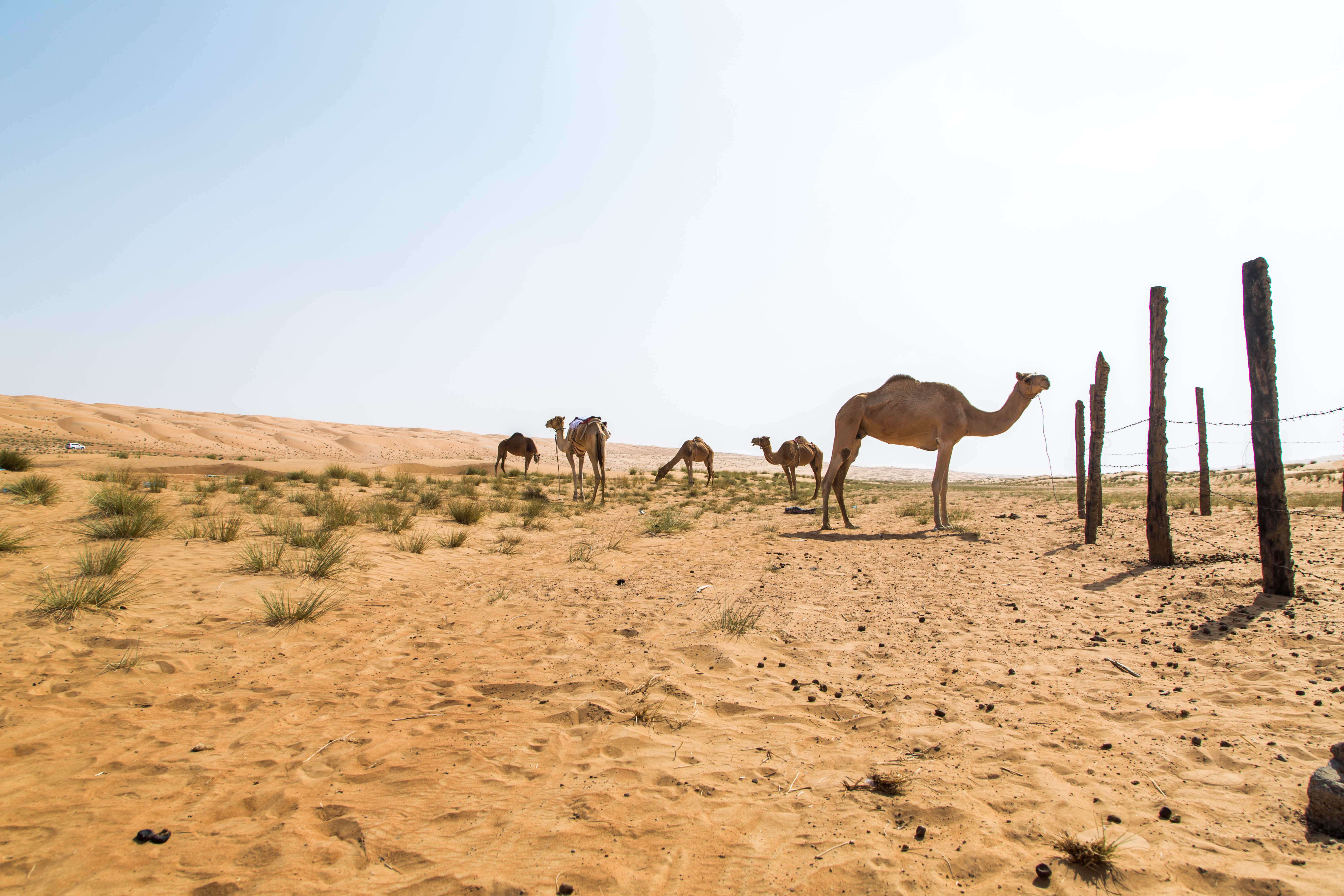 Explore the history of camels in our special edition!