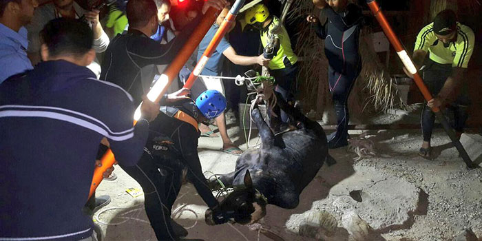 Bull saved from well in Oman