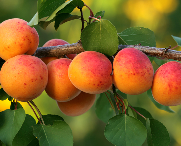One ingredient 5 ways: Apricot