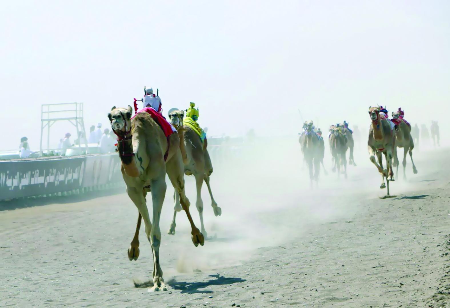 4 أيام حافلة بالإثارة في المهرجان السنوي لسباقات الهجن العربية