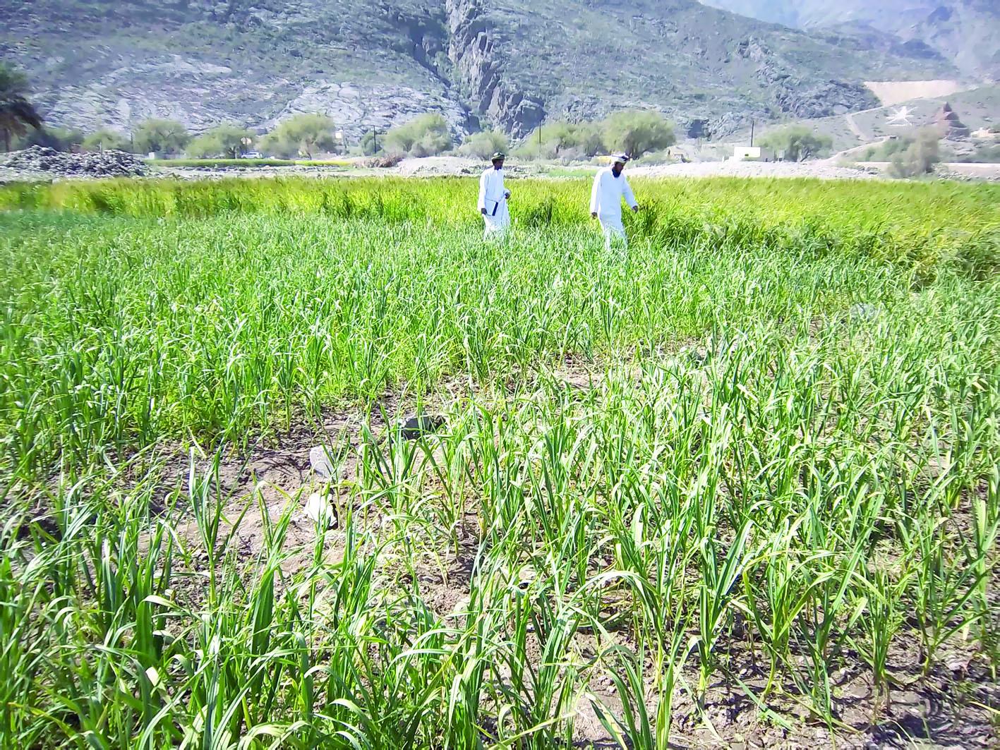 بحث زراعي عماني يظفر بتمويل بريطاني