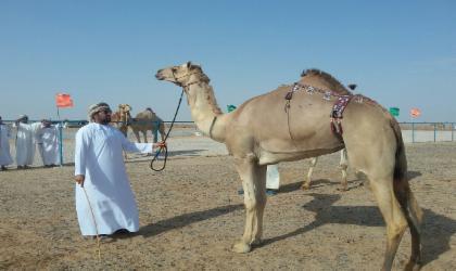 مهرجان المزاينة والمحالبة بولاية محوت