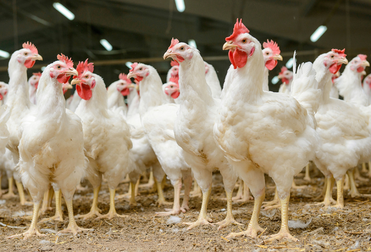 Fun facts: All about chickens