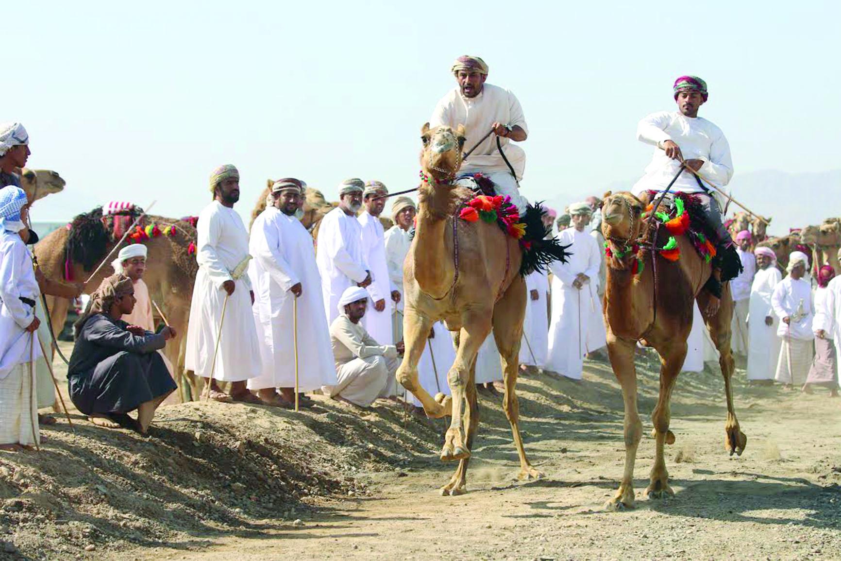 أكثر من 300 ناقة في مهرجانملتقى الأصالة للنوق العمانية الأصيلة