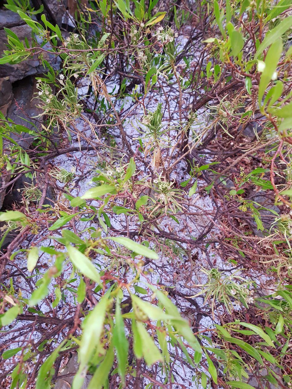 بالصور.. تساقط حبات البرد على الجبل الأخضر