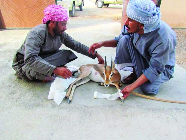 'Poaching threatens Arabian Tahr, Gazelle numbers in Oman'