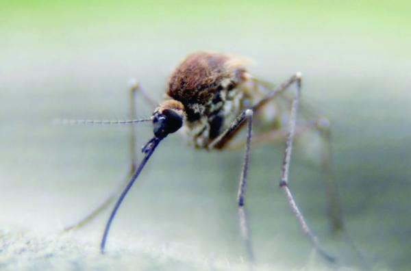 علماء برازيليون يتوصلون إلى أن بعوضة شائعة يمكنها نقل فيروس زيكا