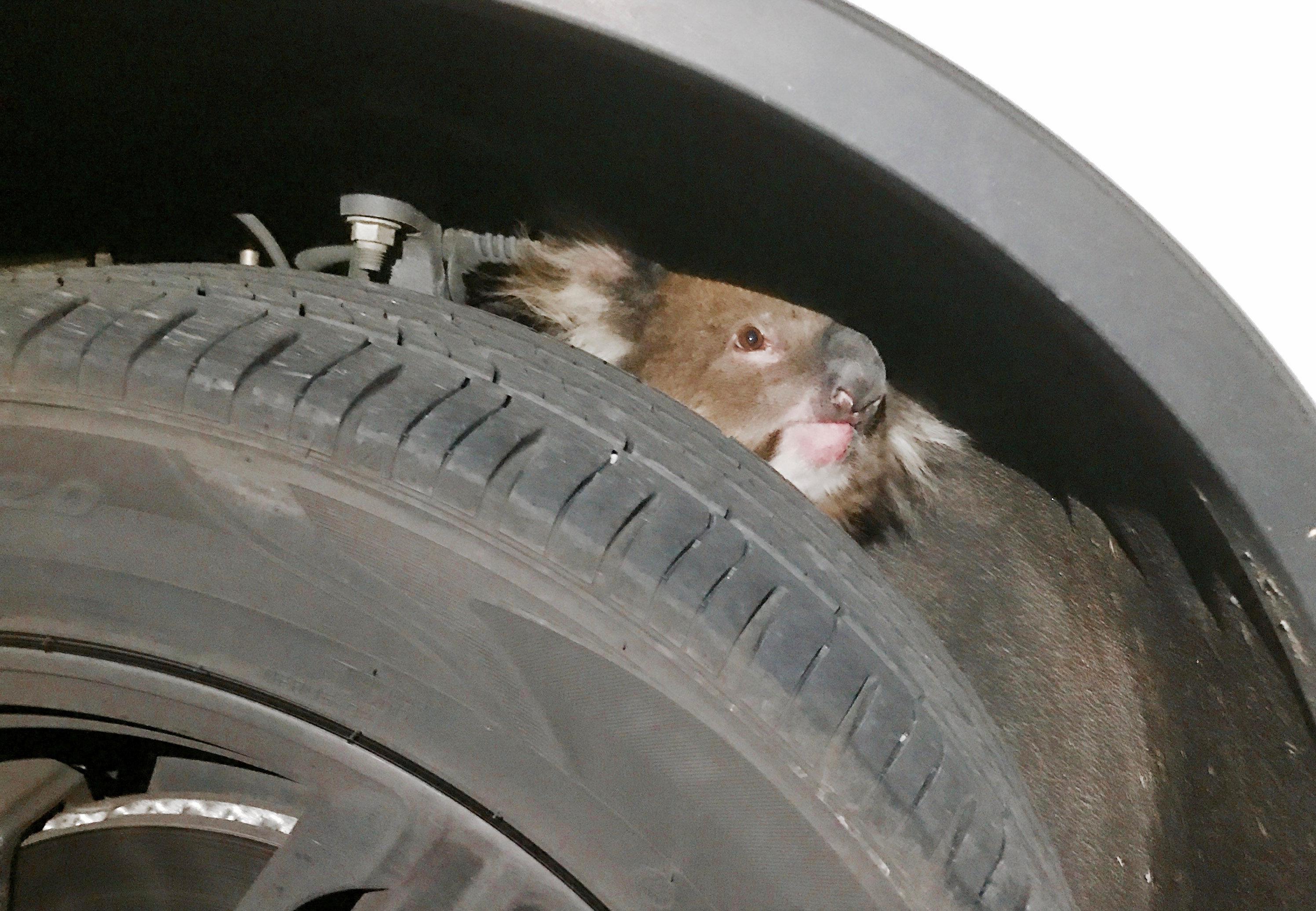 Koala survives 16-km road trip trapped under four wheel drive vehicle in Australia
