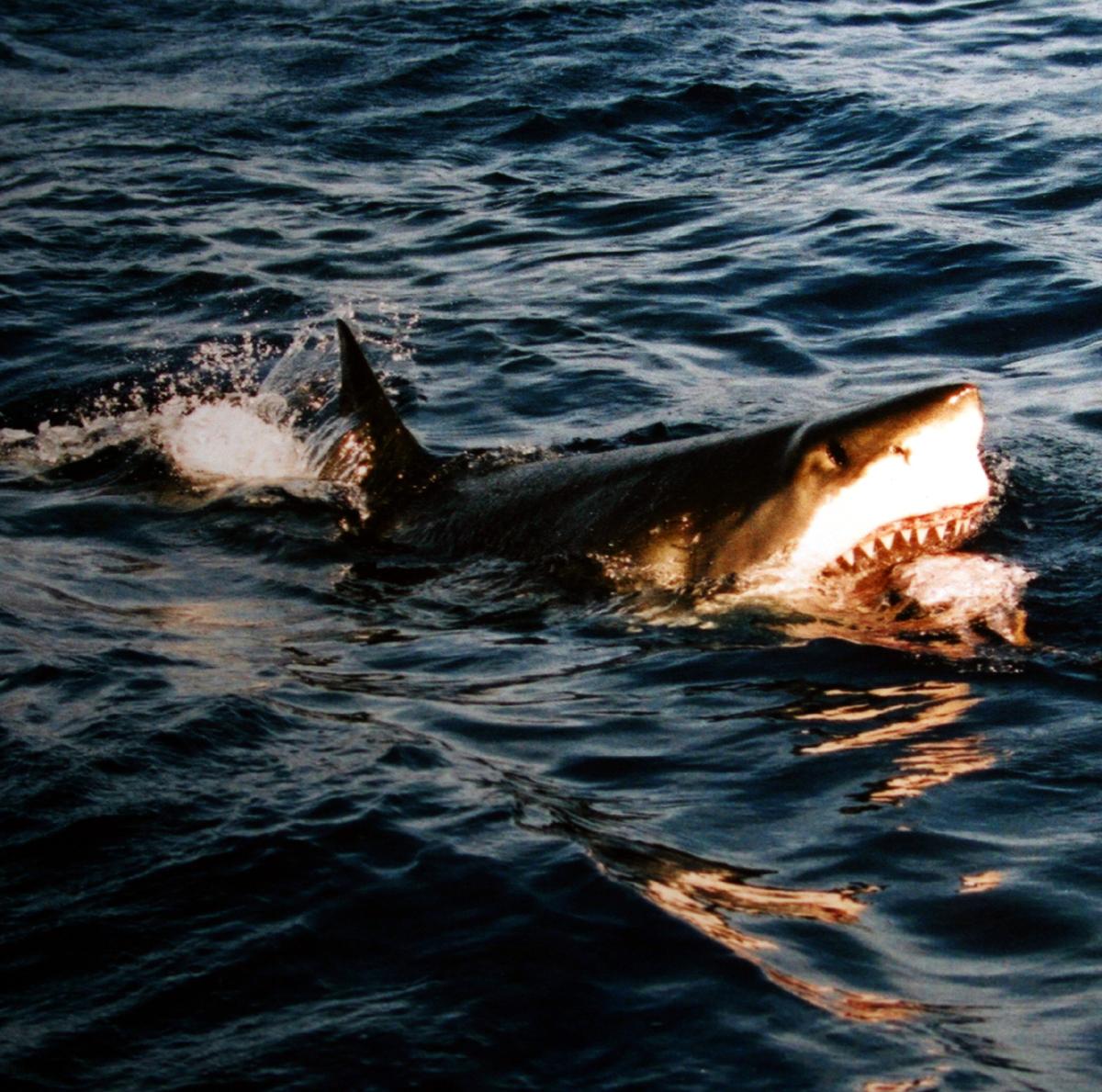 قفز في مياه البحر هرباً من الشرطة فتبعته سمكة قرش