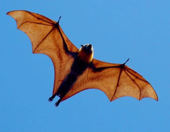 دراسه علمية تفسر سبب العثور على الخفافيش متقطعه بالقرب من المباني