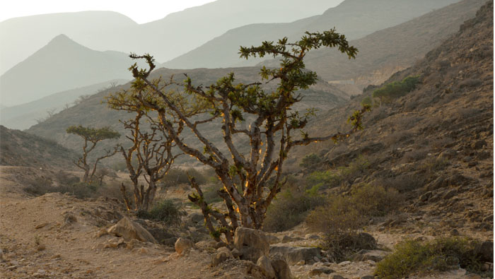 International symposium on frankincense, medicinal plants in Oman this month