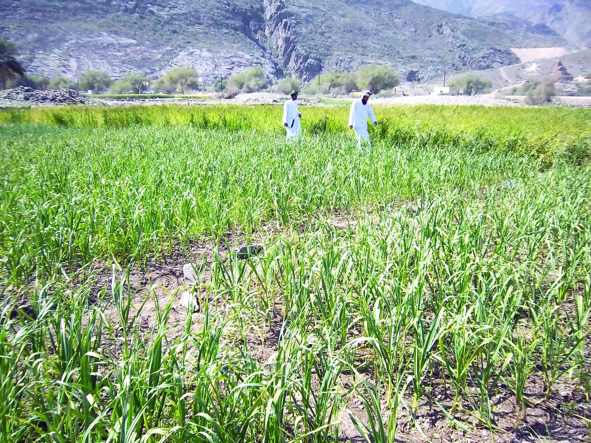 «التأمين» يحمي المواسم والمزارعين