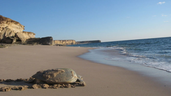 Call to protect turtle nesting sites in Oman