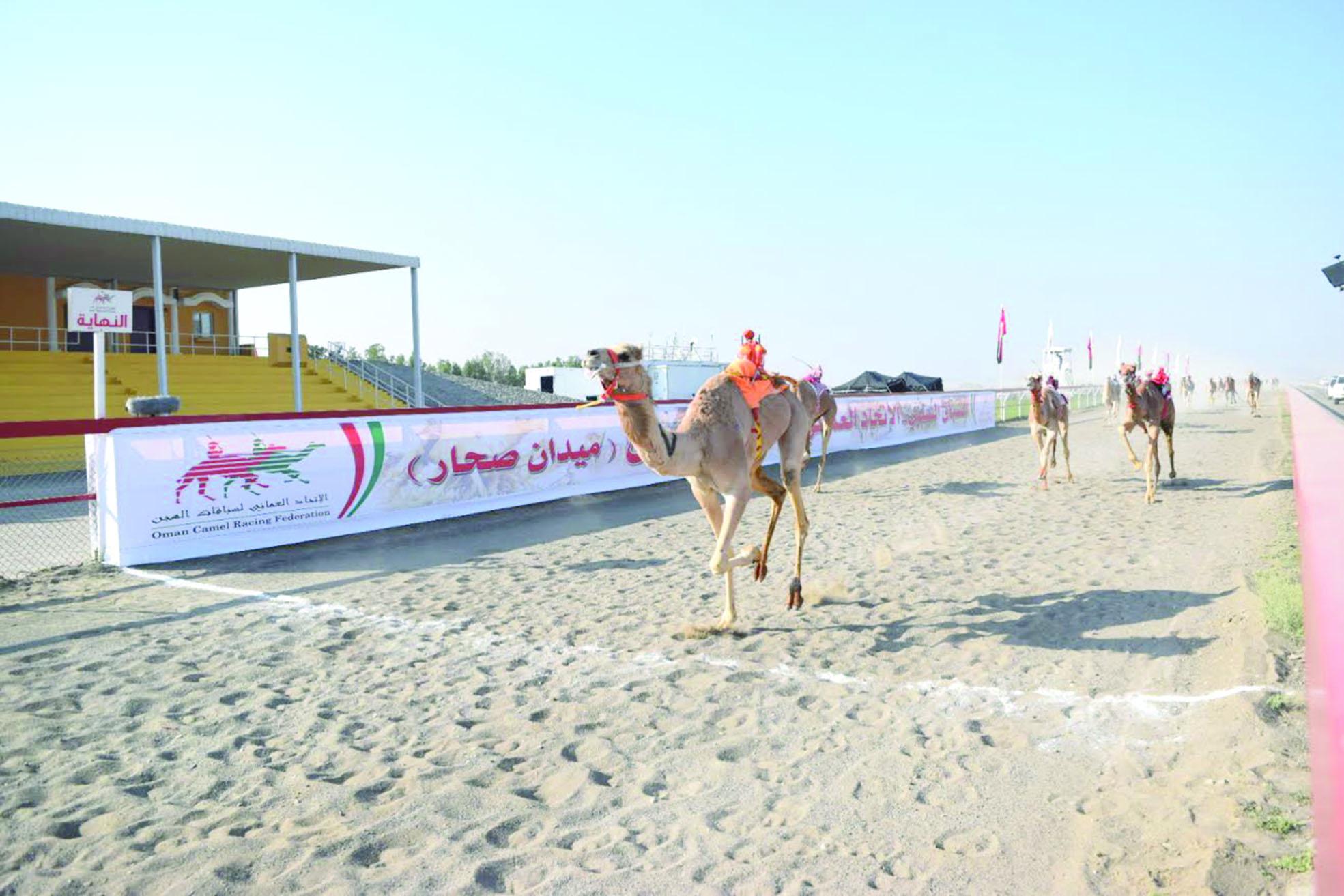 لليوم الثاني على التوالي تواصل أشواط السباق السنوي للهجن في صحار