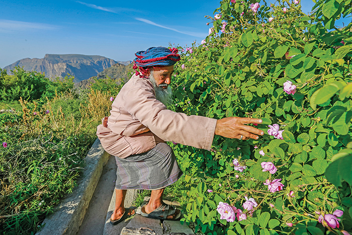 The Jabal Akhdar rose is one of a kind