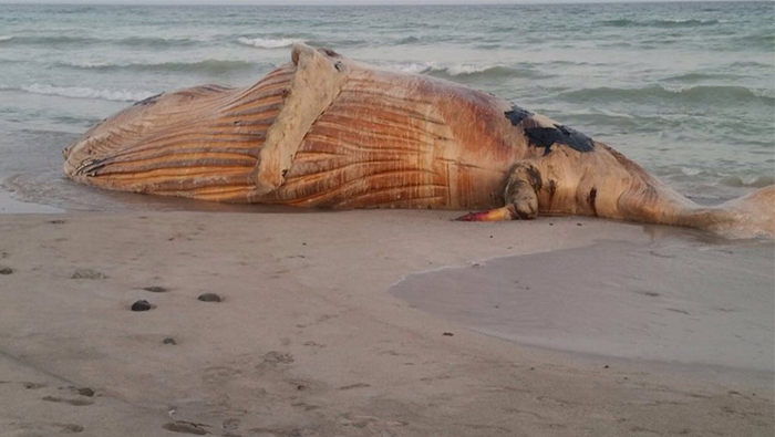 Humpback whale beached on Masirah Island