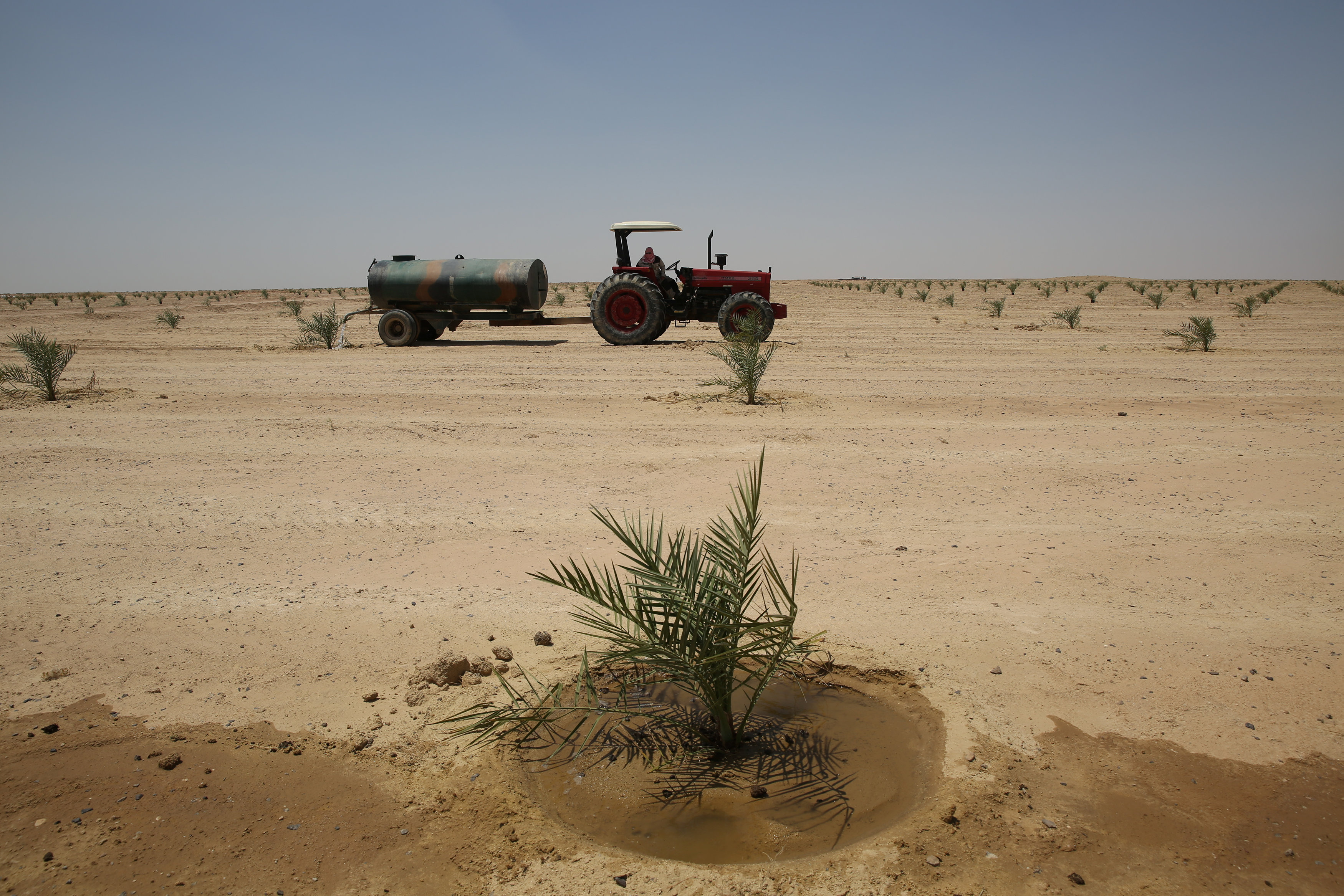 Iraq to plant 70,000 date palms to revive production of crop