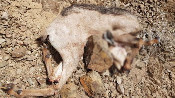 Three arrested for poaching Arabian Tahr in Oman
