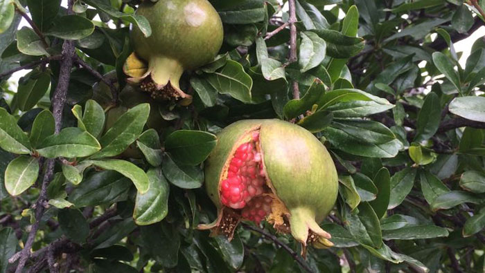 This local parasite will help reduce pest damage in Oman's pomegranates