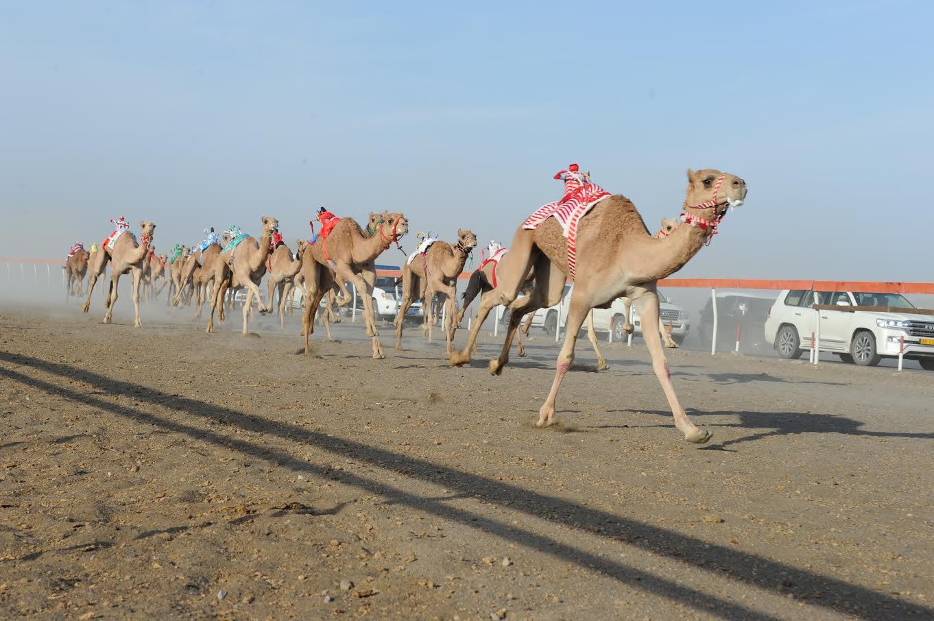28 شوطا في المهرجان السنوي لسباقات الهجن الاهلية في محطته بولاية صحار