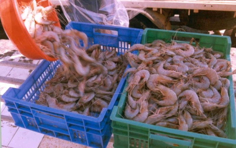 انتهاء موسم صيد الروبيان في سواحل السلطنة الجمعة المقبل