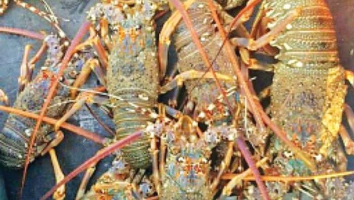 Observe lobster fishing time limit to preserve marine : Ministry