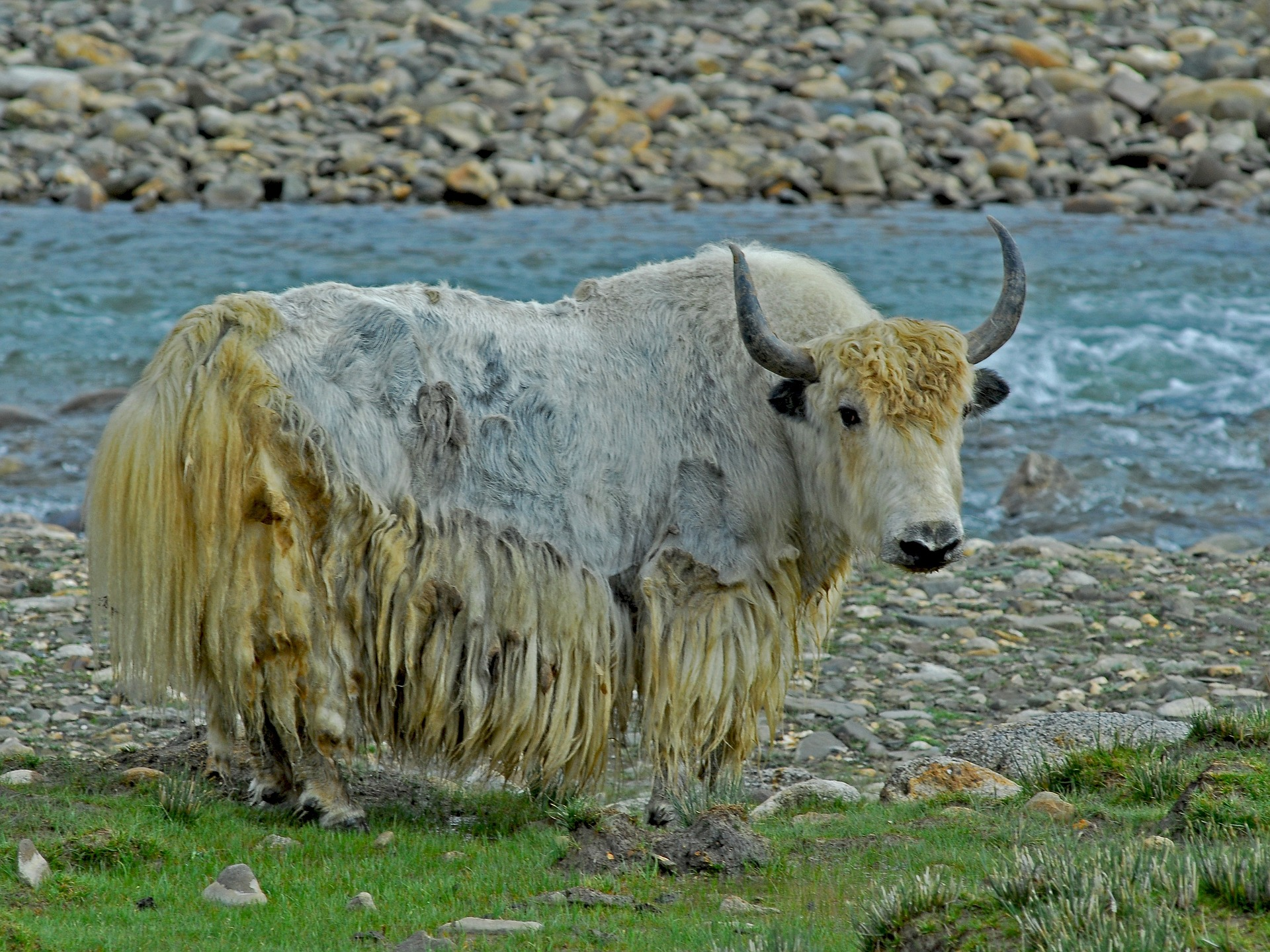 Over 300 Yaks starve to death in India