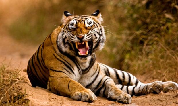 """زيادة عدد """"النمور البرية"""" فى الهند 30% خلال أربع سنوات فقط"""