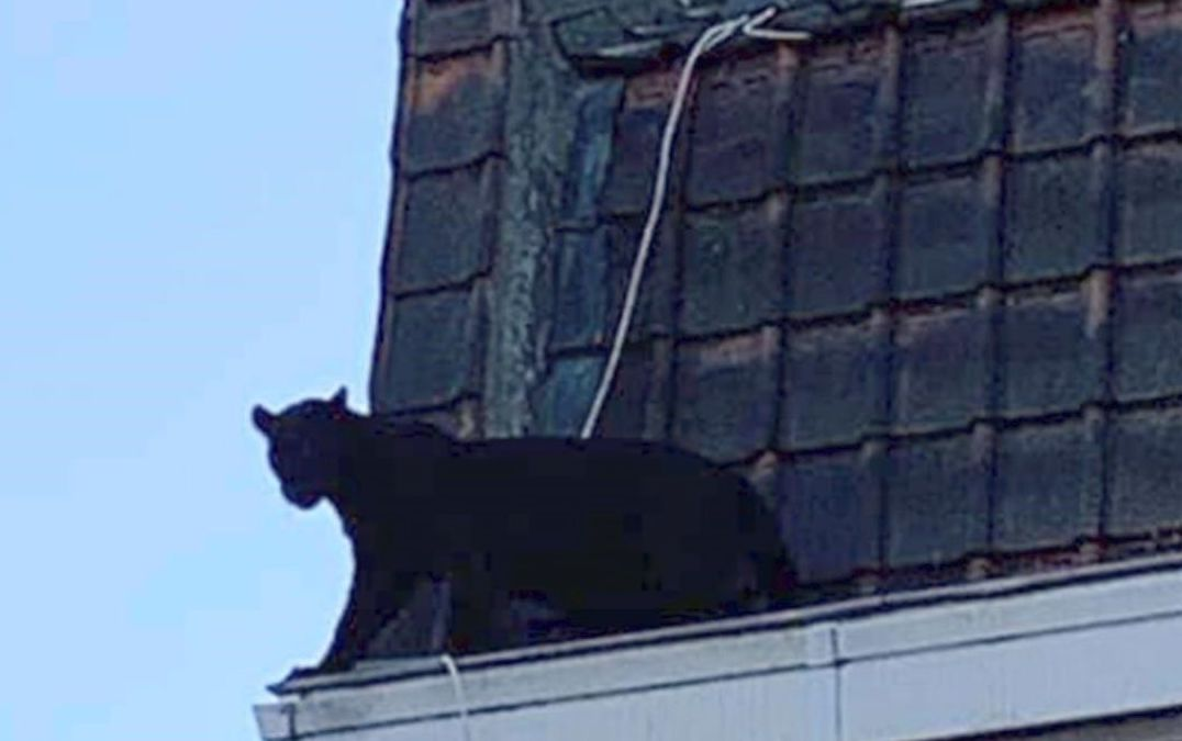 Black panther found prowling roofs in French town