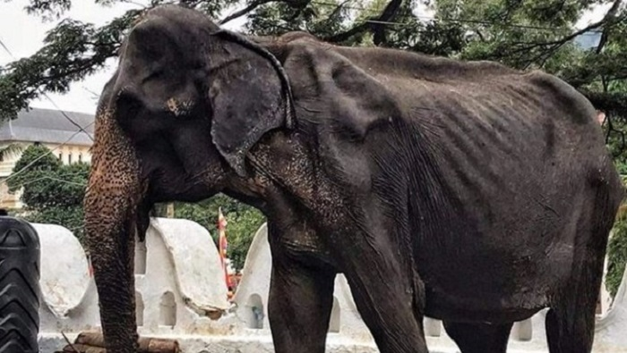 Emaciated Sri Lankan elephant who was forced to perform in parades dies