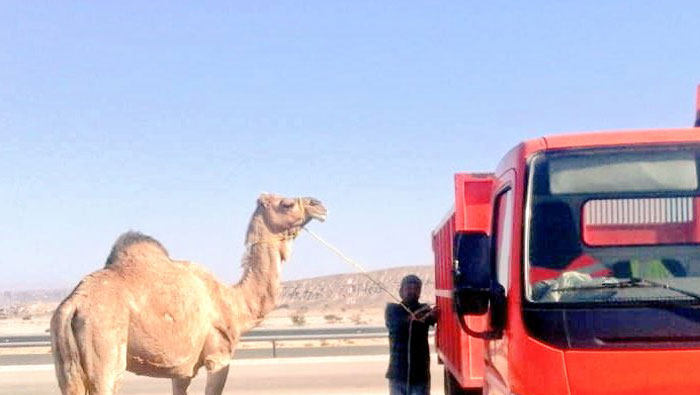 Stray camels detained in Oman
