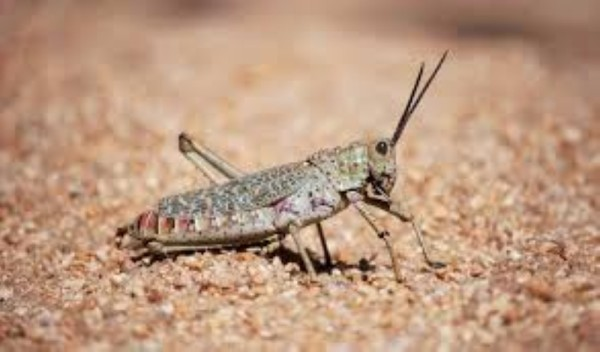 Spraying operation to control Desert Locust in North Al Batinah to begin