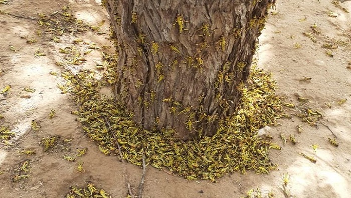 Operations against locust infestation continue in Oman
