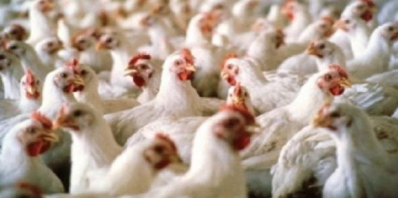 الزراعة تحظر استيراد طيور من ولاية في الهند