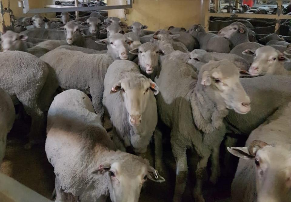 10 آلاف رأس من الأغنام الاسترالية تصل السلطنة