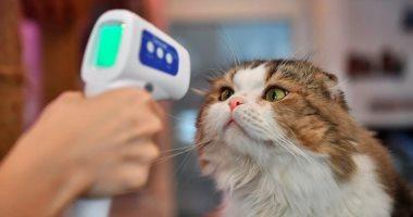 """دراسة: القطط المصابة بـ""""كورونا"""" تتخلص من العدوى في 6 أيام وبدون أعراض"""