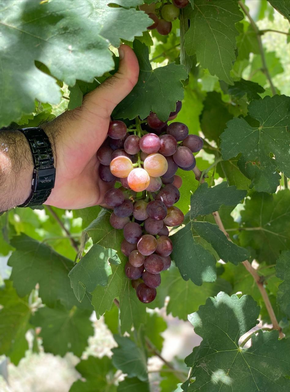 وزارة الزراعة تتفقد حقول العنب في شمال الشرقية